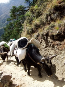 A Yak (Photo by OMer and Freedom Climber, Nancy Byrne)